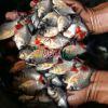 bibit ikan bawal murah