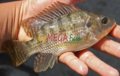 Jual Bibit Ikan Nila Monosex