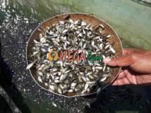 bibit ikan nila kekar gesit srikandi nirwana monosex