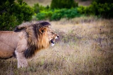 lion, carnivore