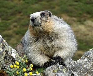marmot-hoary-by-rocks-and-flowers