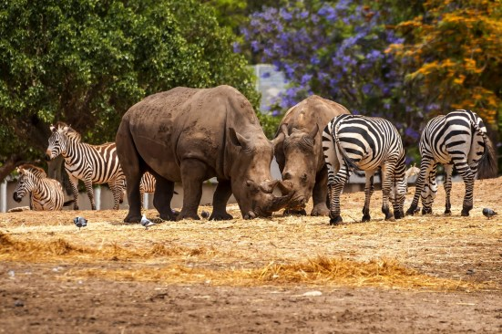 Rhinoceros And Zebras Walking In The Wild In The Ramat Gan Safar