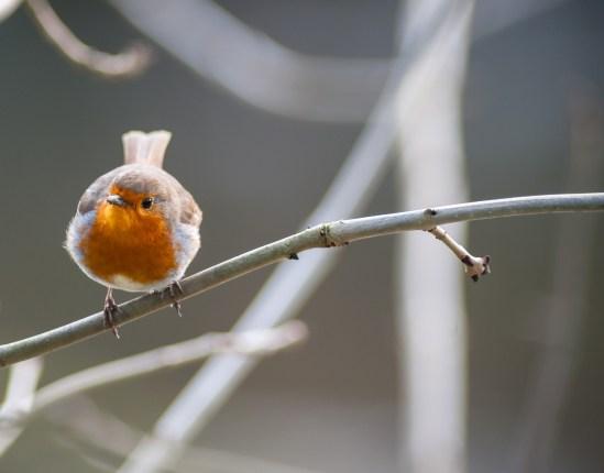 small cute robin bird perched