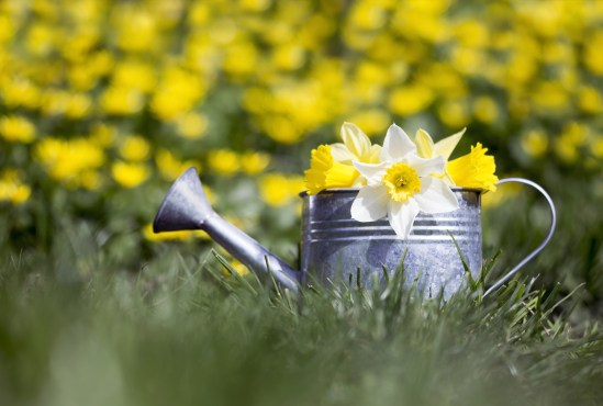 Gardening Concept - Watering Can With Withe Yellow Flowers