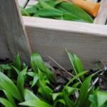 Wild Food by Biddy White Lennon & Evan Doyle: Wild Garlic, Leek and Potato Bake