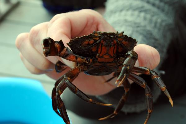 Bibliocook.com - Crabbing in St Dogmaels, Wales. Crab