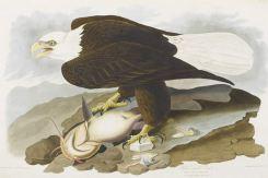 """Audubons pragtværk """"Birds of America"""" var en af de skatte som Torsten Schlichtkrull nævnte i sit foredrag om Universitetsbibliotekets samlingshistorie gennem de sidste 250 år, da Bibliotekshistorisk Selskab tirsdag 2. februar 2016 besøgte Det Natur- og Sunhedsvidenskabelige Fakultetsbibliotek på Nørre Alle. Universitetsbibliotekets samlinger er siden 1728 vokset gennem årene bl.a. i kraft af mange gaver og donationer. Nogle af erhvervelserne har været meget storslåede, som f.eks. """"Birds of America"""", som Universitetsbiblioteket fik i forbindelse med indlemmelsen af Det Classenske Bibliotek. Torsten Schlichtkrull redegjorde også for de bibliotekspoltiske stridigheder som i mere end 150 år prægede den videnskabelige biblioteksbetjening i København. Et levende emne, som fik debatten til at fortsætte over et glas vin også efter at foredraget var slut."""