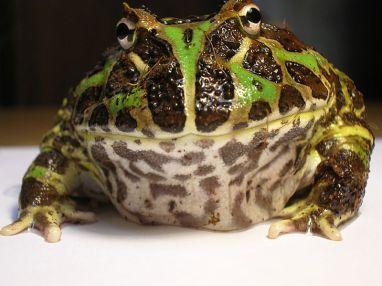 800px-argentine_horned_frog_ceratophrys_ornata1