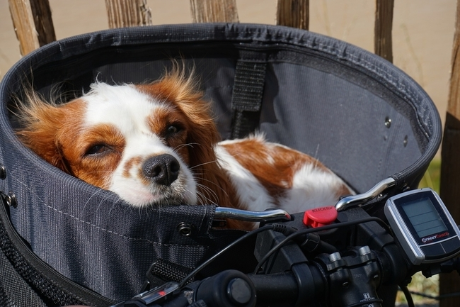 dog_bike_basket