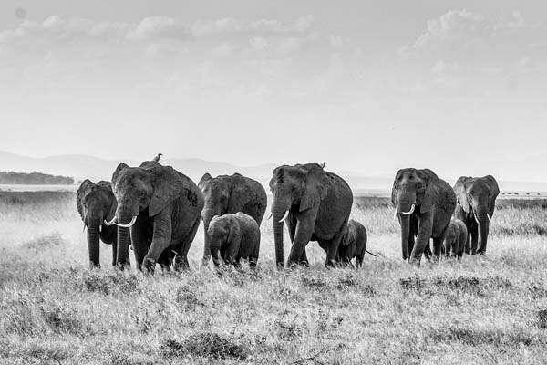 Elephant Ivory Poaching Myths and Politics