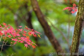 red maple tree leaves