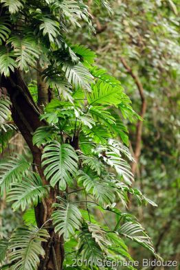 Philodendron in forest