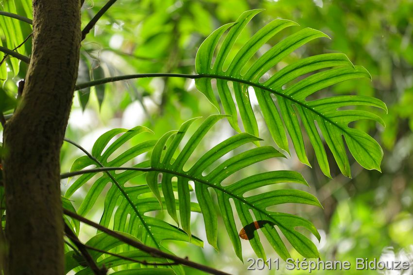 Philodendron leaves in forest
