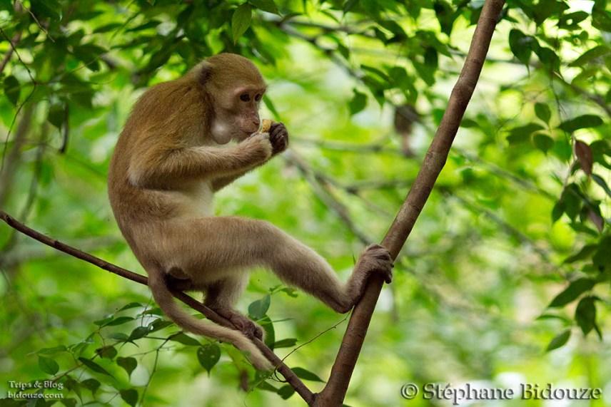 singe-macaque-erawan