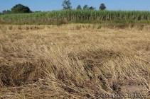 rice-field-harvested-sugar-cane