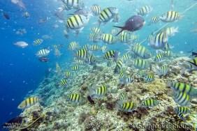 balicasag-snorkeling-poissons-banc