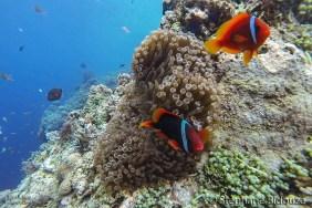 poissons-clown-philippines