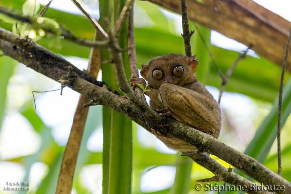 tarsier-philippines-bohol-island