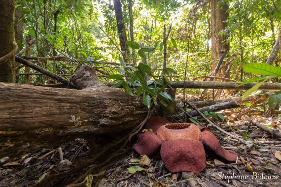 rafflesia-fleur-khao-sok