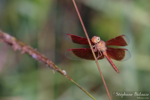libellule-rouge