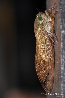 cigale-megapomponia