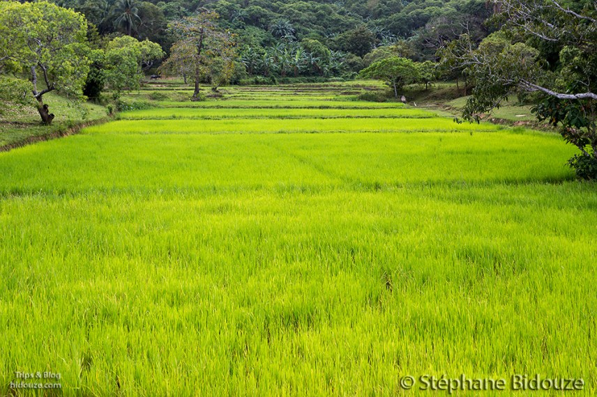 rice-field-green-palawan