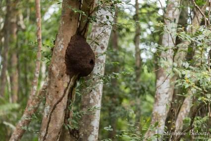 nid-guêpes-tronc-arbre-thailande