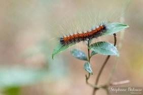 chenille-papillon-nuit-thailande