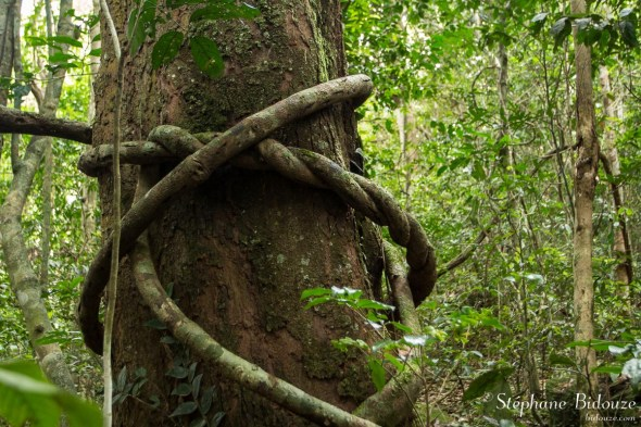 lianes-tronc-jungle