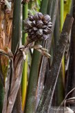 fruit-palmier-vietnam