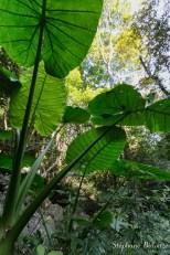 taro-feuille-plante-jungle
