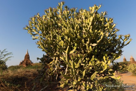 Euphorbia-antiquorum-bagan-euphorbe