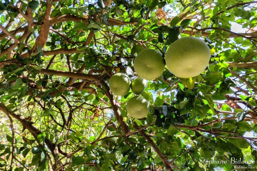 Grapefruits on tree