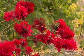Poinsettia en Birmanie