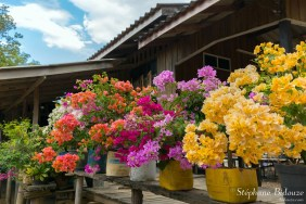 Colorful bougainvillea flowers in flowerpots, Thailand