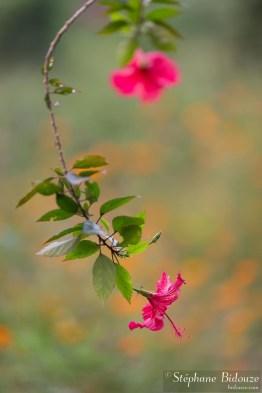 fleur-hibiscus-thailande