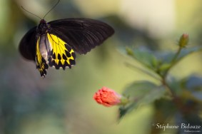 thailande-papillon-Golden-Birdwing