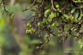 figues-thailande-sauvage