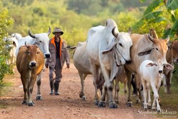 berger-troupeau-vaches-thailande