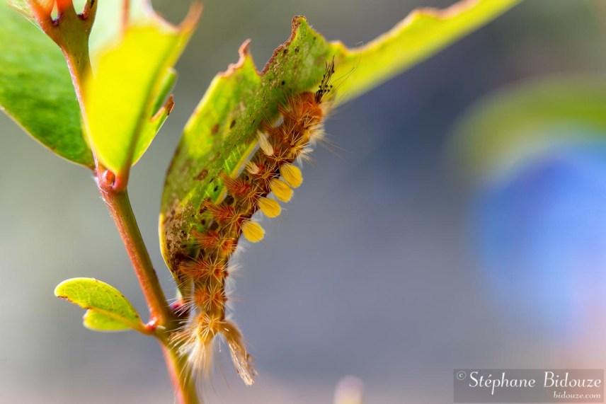 orgyia-chenille-thailande-papillon