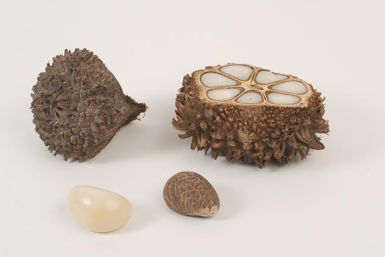 graines-de-tagua---ivoire-végétale---bijoux-nodova