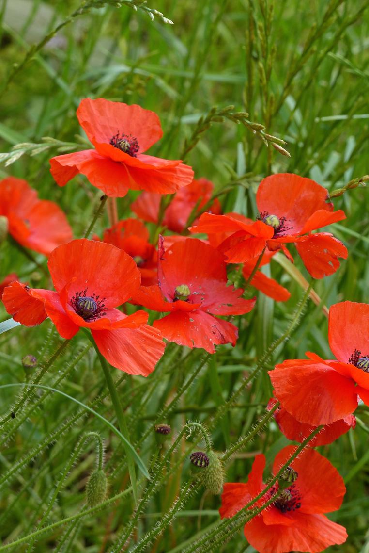 fleurs-de-coquelicots