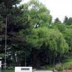 シダレヤナギ