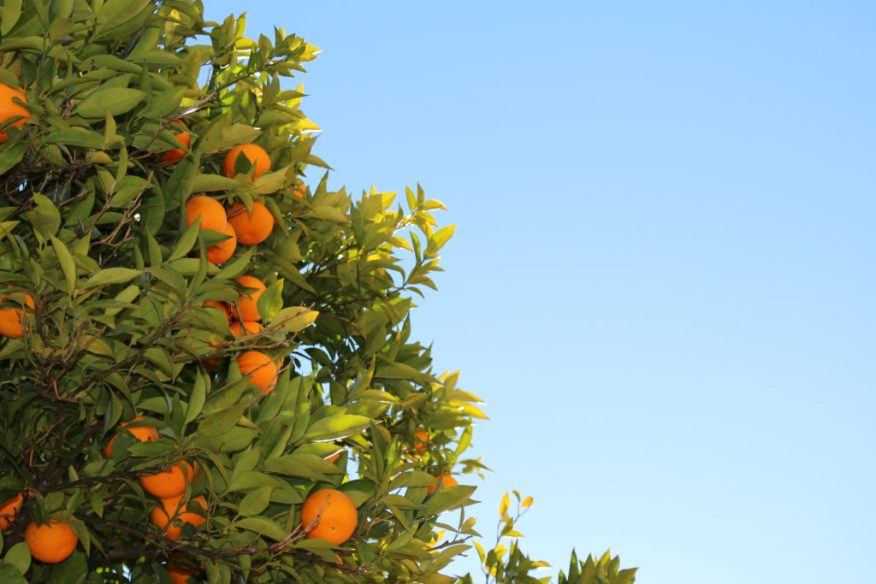 Oranges, growth, agriculture and business