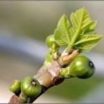 Gemmothérapie : Des bourgeons, petits mais costauds