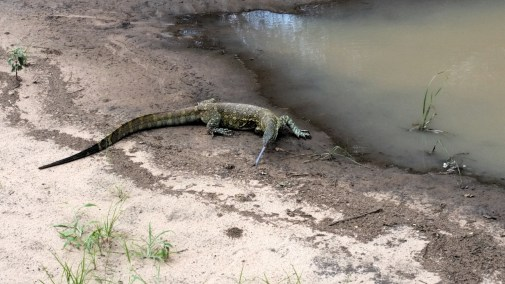 Monitor lizard searching for food