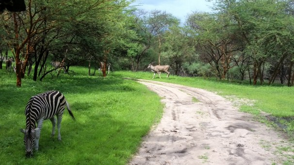 Antelope and zebras grazing