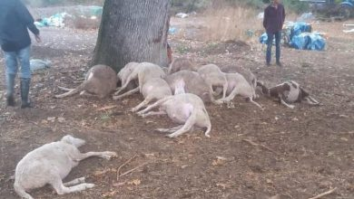 Photo of Yıldırım Düşmesi Sonucu Koyunlar Telef Oldu