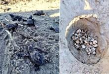 Photo of Çanakkale'de İlk Kez Caretta Caretta Yuvası Tespit Edildi