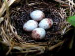Dark-eyed Junco nest in Big Bald grassy bald habitat